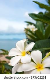 Plumeria flowers against blue sky and sea