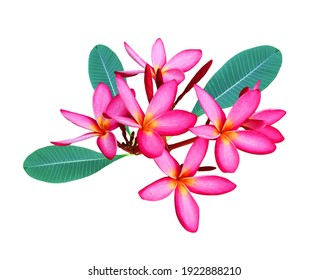 Plumeria flowers blooming in summer.With white background.