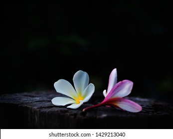 Plumeria flowers in the dark Beautiful but sad, lonely, lonely, single, soft, focus and blurred