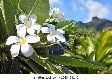 Plumeria flowers grows in Rarotonga, Cook Islands. In several Pacific islands, such as Tahiti, Fiji, Samoa, Hawaii, New Zealand, Tonga, and the Cook Islands plumeria species are used for making leis.