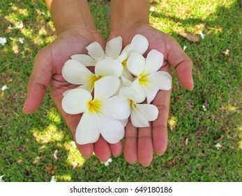 Plumeria  flowers in hands with green grasss background.