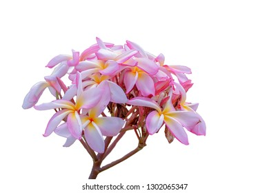 Plumeria flowers isolated on a white background