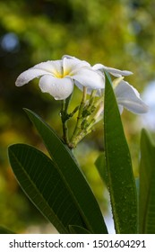 plumeria flowers and leaves after rain