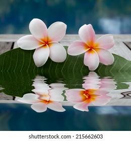 plumeria flowers next to the pool