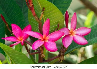 Plumeria flowers (plumeria).frangipani tropical flower