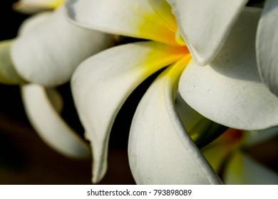 Plumeria flowers for spa