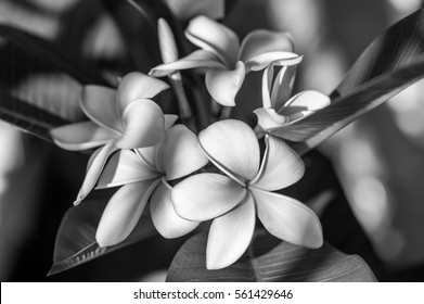 Black and white photography images stock photos vectors plumeria or frangipani flower tropical flower black and white photography mightylinksfo Image collections