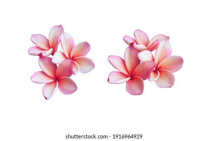 Plumeria, Frangipani, Temple tree,  Closeup white-pink plumeria flowers branch isolated on white background. Top view white-pink single flowers bouquet.