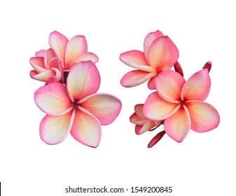 Plumeria, Frangipani, Temple tree, Graveyard Tree, Collection of pink bunch  Plumeria flowers isolated on white background.