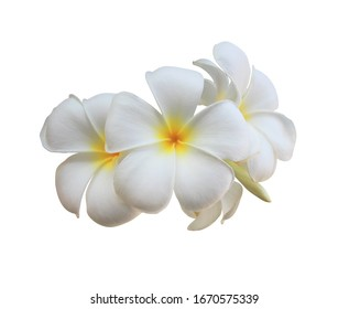 Plumeria, Frangipani, Temple tree, Graveyard Tree, Close up white-yellow Plumeria flower. White bouquet flower isolated on white background. with clipping path