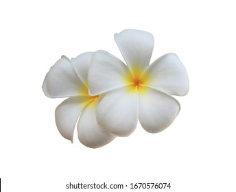 Plumeria, Frangipani, Temple tree, Graveyard Tree, Close up two white-yellow Frangipani flower. White bouquet flower isolated on white background. with clipping path