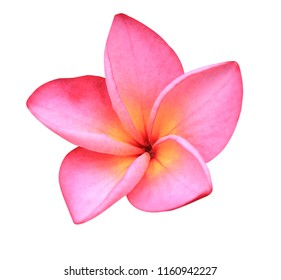 Plumeria, Frangipani, Temple Tree, Red flower isolated on white background. with clipping path