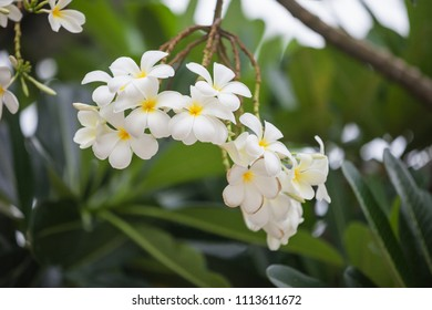 Plumeria (frangipani). This is a national Thai flower. Thailand