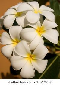 Plumeria Frangipani White asian flower