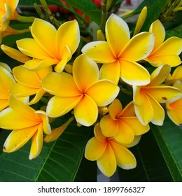 Plumeria is a group of plants in the genus Plumeria.  The shape is a small tree with sparse but thick leaves.  The flowers are very distinctive fragrant, with a white to purplish red crown.