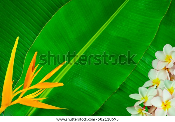 Plumeria and Heliconia flowers on banana leaf texture abstract background.