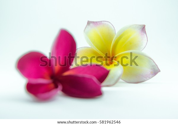 plumeria with isolate