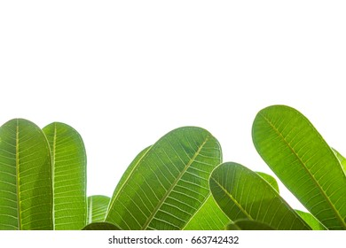 Plumeria leaves isolate on white background with clipping path