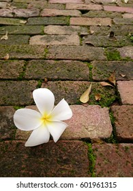 plumeria on the brick with moss.