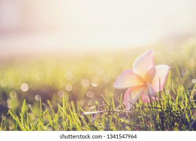 plumeria on green grass with morning light