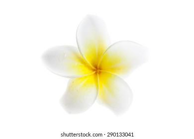 Plumeria on white background.