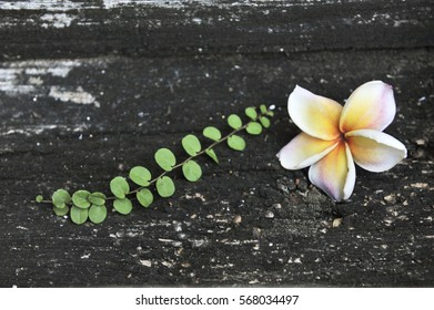 plumeria on wood background
