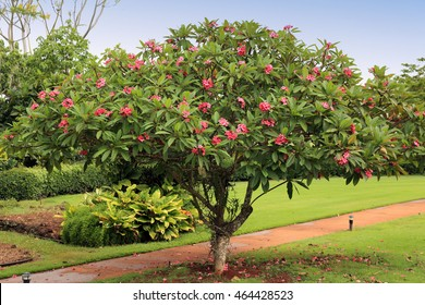 A plumeria plant pruned into a tree shape, with a garden path behind.