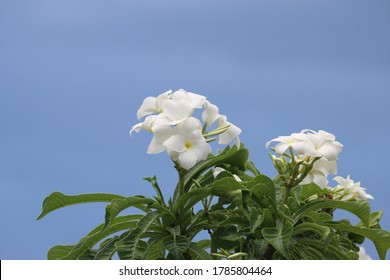 Plumeria pudica or Cotika chamba Plant with White Flower and Buds with blue sky background