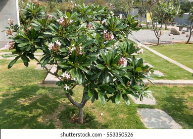 Plumeria rubra or Temple Tree is a popular garden plant used in