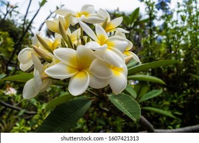 plumeria rubra white with yellow center bouquet