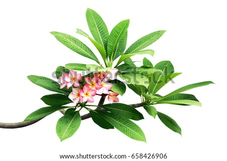 Plumeria Tree Branches Green Leaves Pink Stock Photo Edit Now