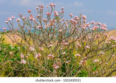 Plumeria tree on a mountain. It is a flowering plant.