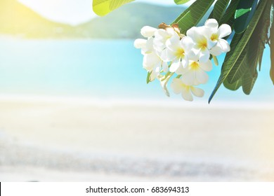 Plumeria white flower and beach background