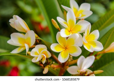 Plumeria white flowers plants nature