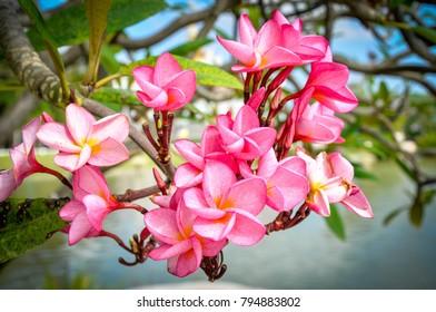 Plumerial pink flower