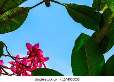 Plumeria(Plumeria spp) is a beautiful ornamental plant.Its flowers are many colors.