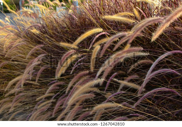 Plumes Delicate Purple Feather Grass Pennisetum Stock Photo Edit