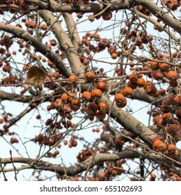 Plumleaf crab apple with orange dry ripe fruits in early spring, ornamental tree with edible apples often used as rootstock
