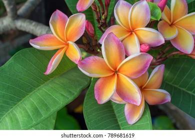 Plumplain flowers on plumeria after rain