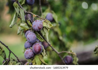 Plums from Campina coutryside Romania