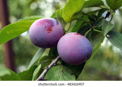 Plums on a branch. Photo closeup.