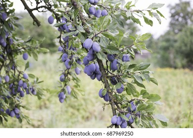 Plums on a tree branch