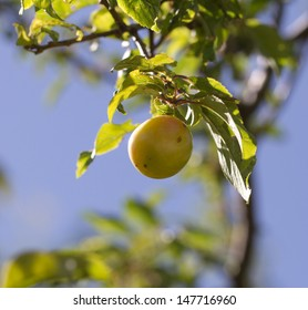 plums on the tree in nature