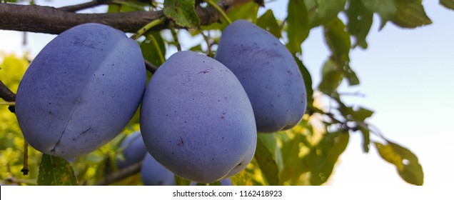 The plums tree