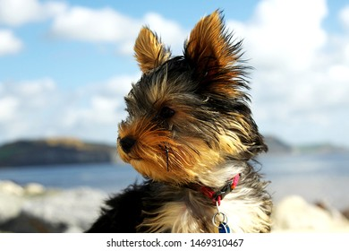 Plymouth England. May 2018. Close up pictures of Yorkshire terrier puppy. Outside shots.