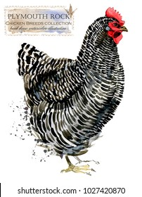 Plymouth hen. Poultry farming. Chicken breeds series. domestic farm bird