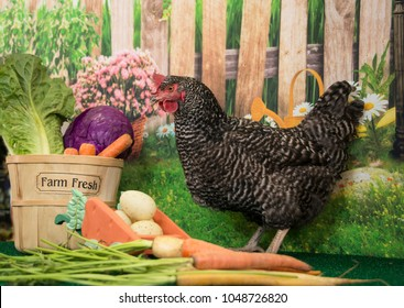 Plymouth Rock barred hen chicken with basket of farm fresh eggs and vegetables in spring with colorful blooming flowers