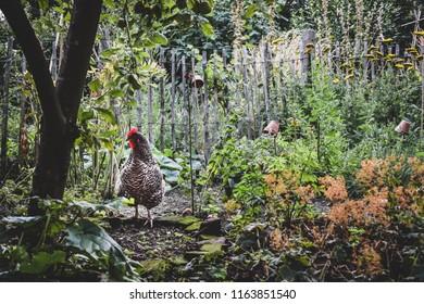 Plymouth rock chicken scrambles around in a botanical garden. Free-range chicken in garden of farm with wild flowers. Organic chicken between natural herbs.