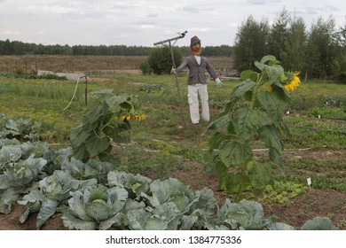 PLYOS, RUSSIAN FEDERATION - AUGUST 24, 2016: Russian dacha with garden and scarecrow. Cabbage, sunflowers and beds in Plyos city (Ivanovo oblast, Russia)
