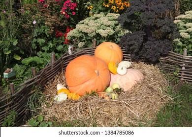 PLYOS, RUSSIAN FEDERATION - AUGUST 24, 2016: Russian dacha in Plyos city (Ivanovo oblast, Russia). Harvest of orange pumpkins on bed